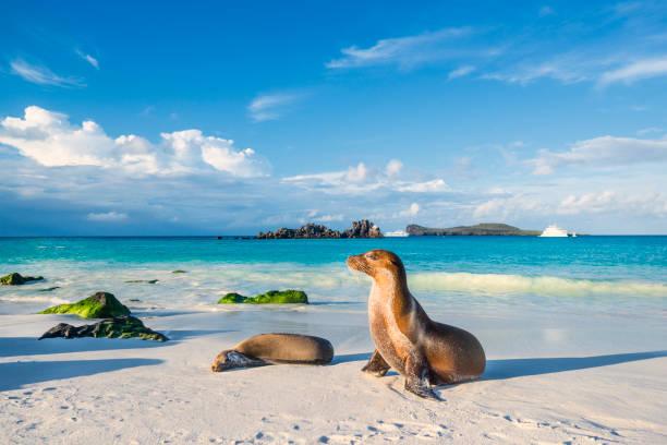에스파냐의 해변 섬에 갈라파고스 바다 사자 (zalophus wollebaeki) - 에콰도르 뉴스 사진 이미지
