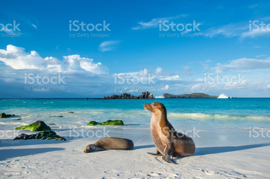 Galapagos-Seelöwe (Zalophus Wollebaeki) auf der Insel Strand Espanola – Foto