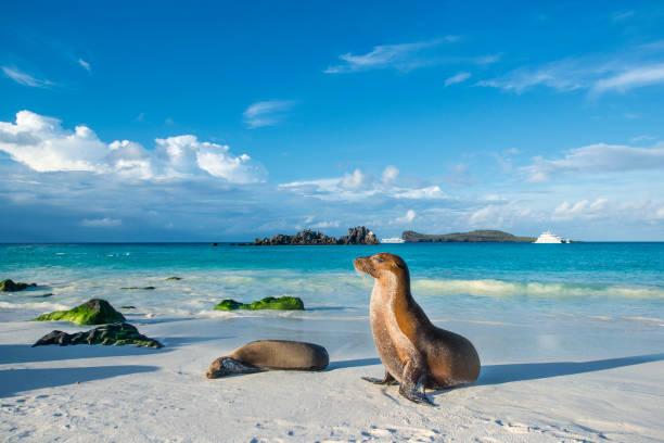 Galapagos sea lion (Zalophus wollebaeki) at the beach of Espanola island stock photo