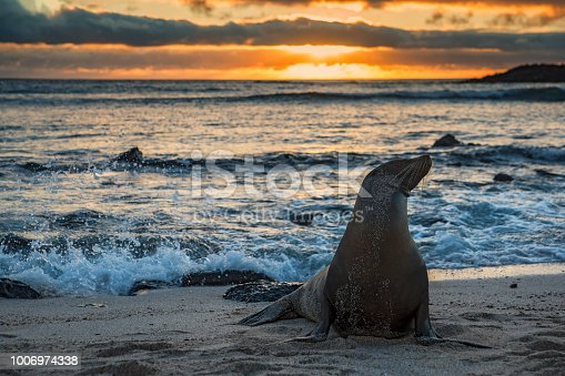Galapagos sea lions (Zalophus wollebaeki) is sunbathing in the last sunlight at the beach of San Cristobal, Galapagos Islands in the Pacific Ocean. This species of sea lion is endemic at the Galapagos islands; Wildlife shot.