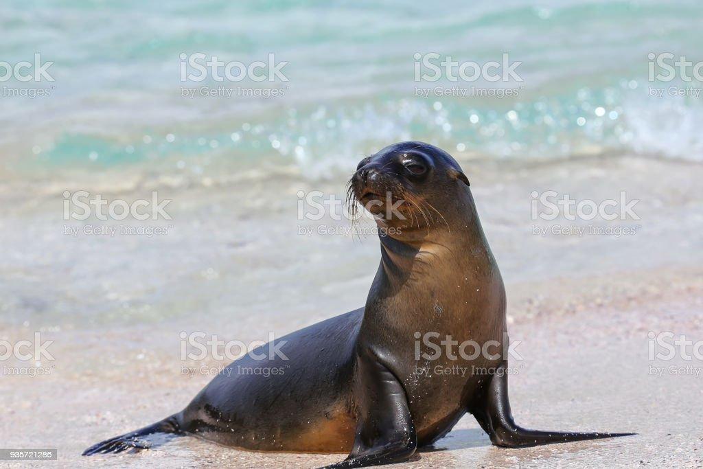 Galapagos sea lion at the beach on Espanola Island stock photo