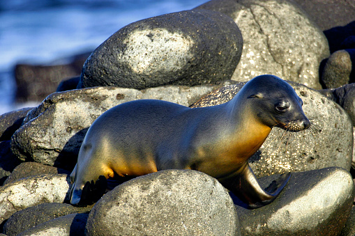 Galápagos Sea Lion, Zalophus wollebaeki, Galápagos National Park, Galápagos Islands, UNESCO World Heritage Site, Ecuador, America