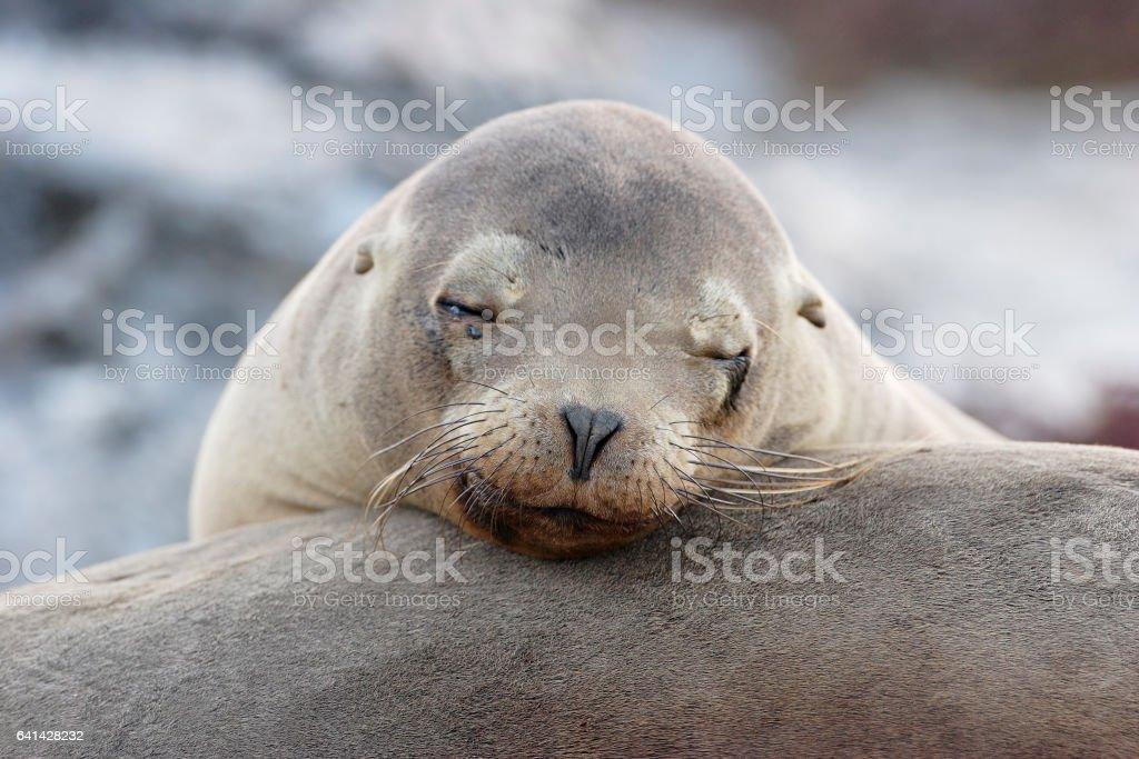 Galapagos Sea Lion, head portrait, South Plaza, Galapagos Islands stock photo