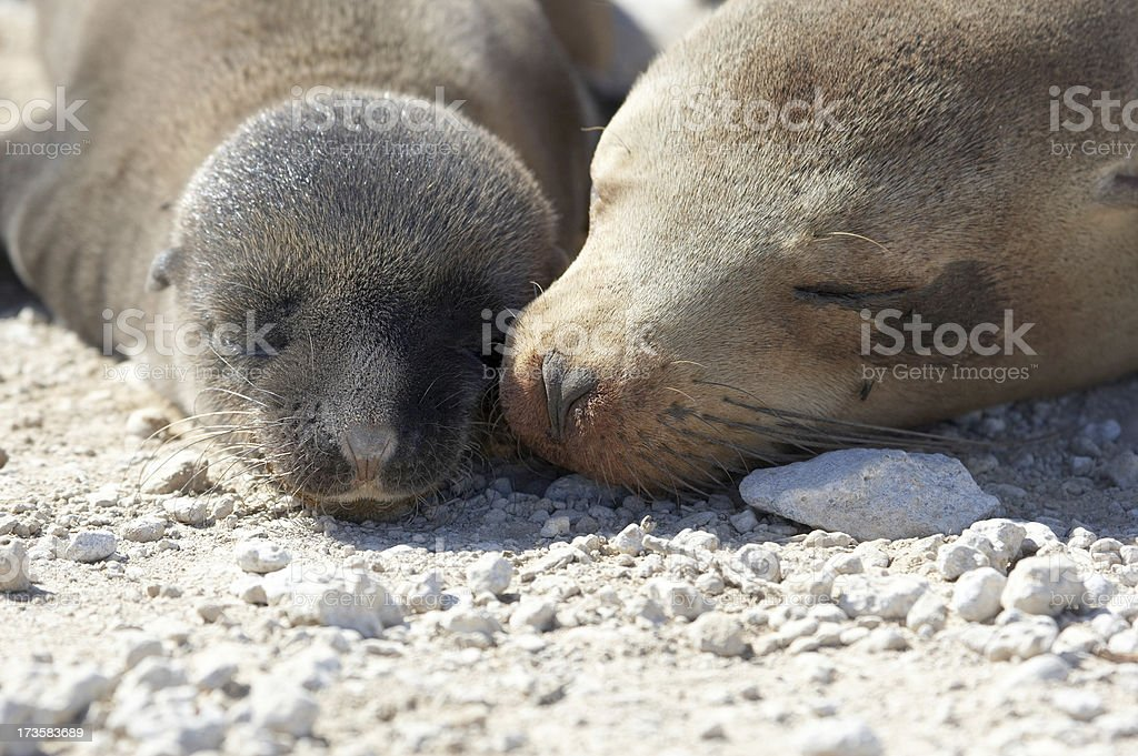 Galapagos Sea lion mother with newborn pup stock photo