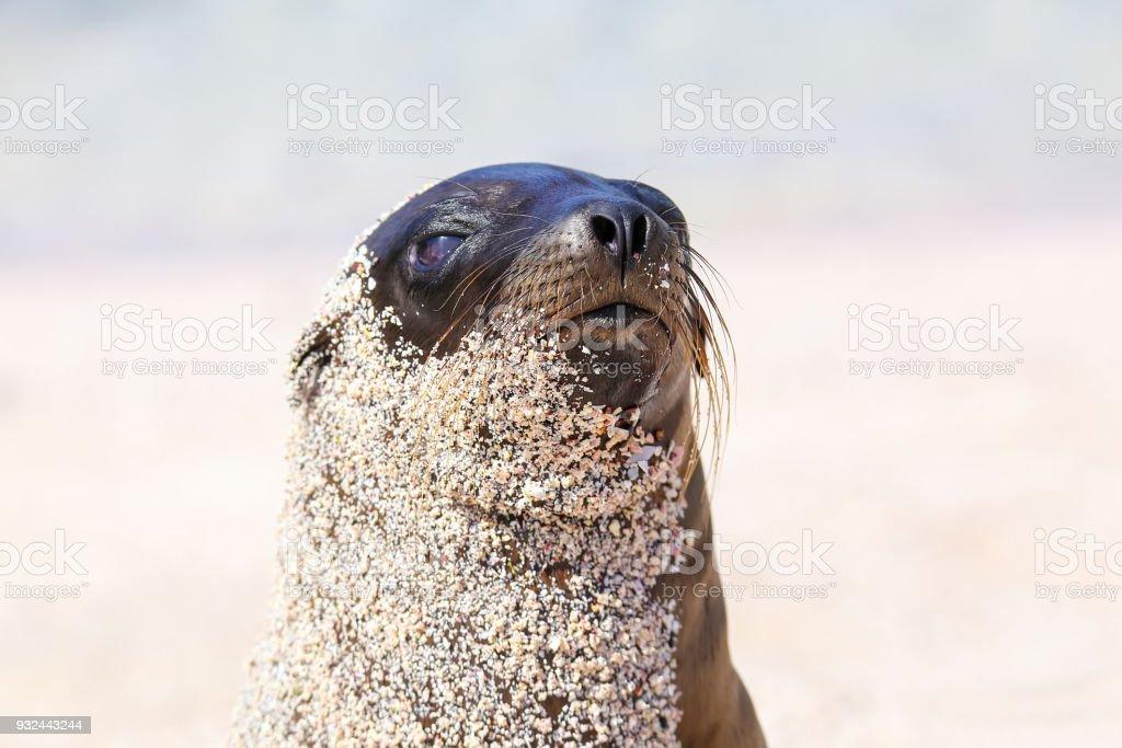 Galapagos sea lion on  Espanola Island, Galapagos National park stock photo