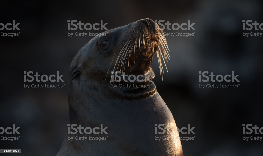 Galapagos sea lion foto de stock royalty-free