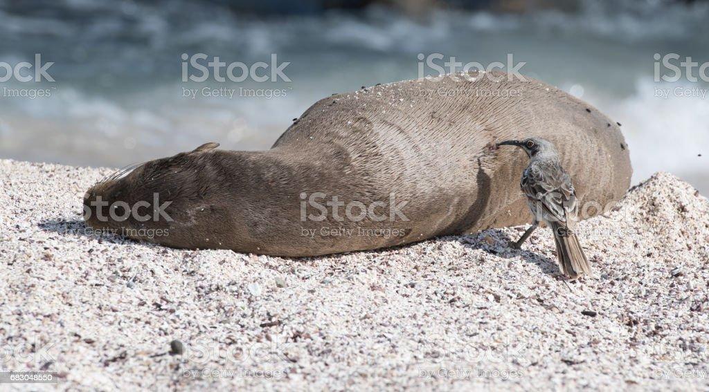León de mar de los Galapagos foto de stock libre de derechos