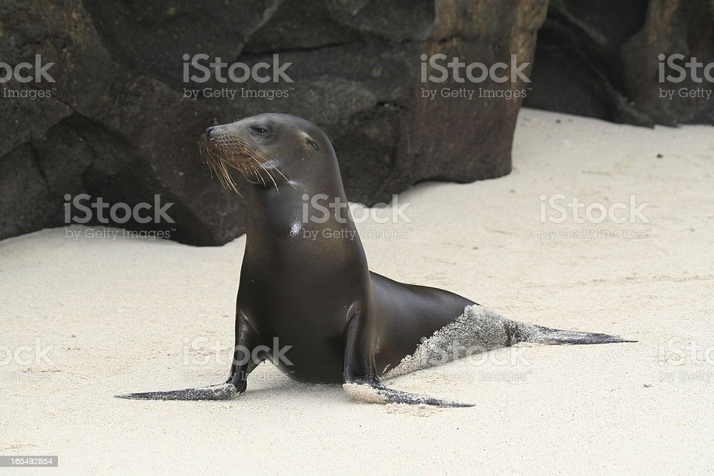 Galapagos Sea Lion Pup royalty-free stock photo