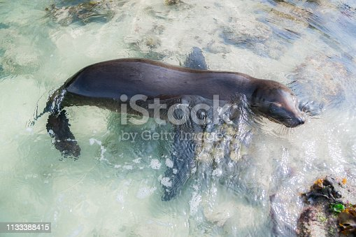 Galapagos Sea Lion Swimming