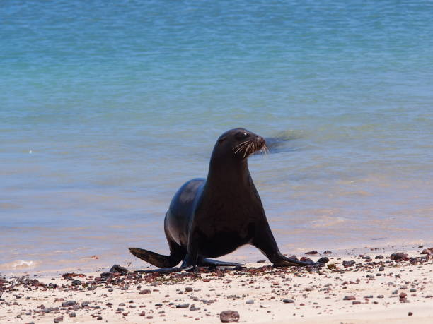Galapagos sea lion walks on the beach with his fin stock photo