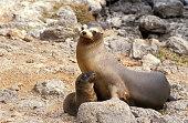 Galapagos Sea Lion, zalophus californianus wollebacki, Female with Pup standing on Rocks