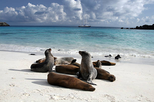 Galapagos Sea Lions Basking on Beach, Galapagos islands, Ecuador DSLR picture of Sea lions on a beach of galapagos islands in Ecuador.  They are playing on the white sand beach and some are sleeping. The water is turquoise blue and there is nice fluffy clouds in the sky. In the background a sailing ship is visible.  south american sea lion stock pictures, royalty-free photos & images