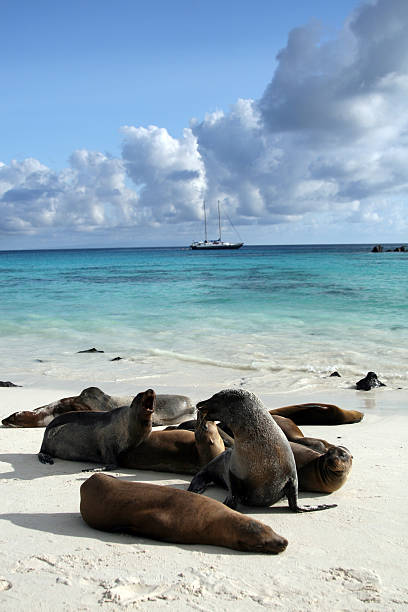 Galapagos Sea Lions Basking on Beach DSLR picture of Sea lions on a beach of galapagos islands in Ecuador.  They are playing on the white sand beach and some are sleeping. The water is turquoise blue and there is nice fluffy clouds in the sky. In the background a sailing ship is visible.  south american sea lion stock pictures, royalty-free photos & images