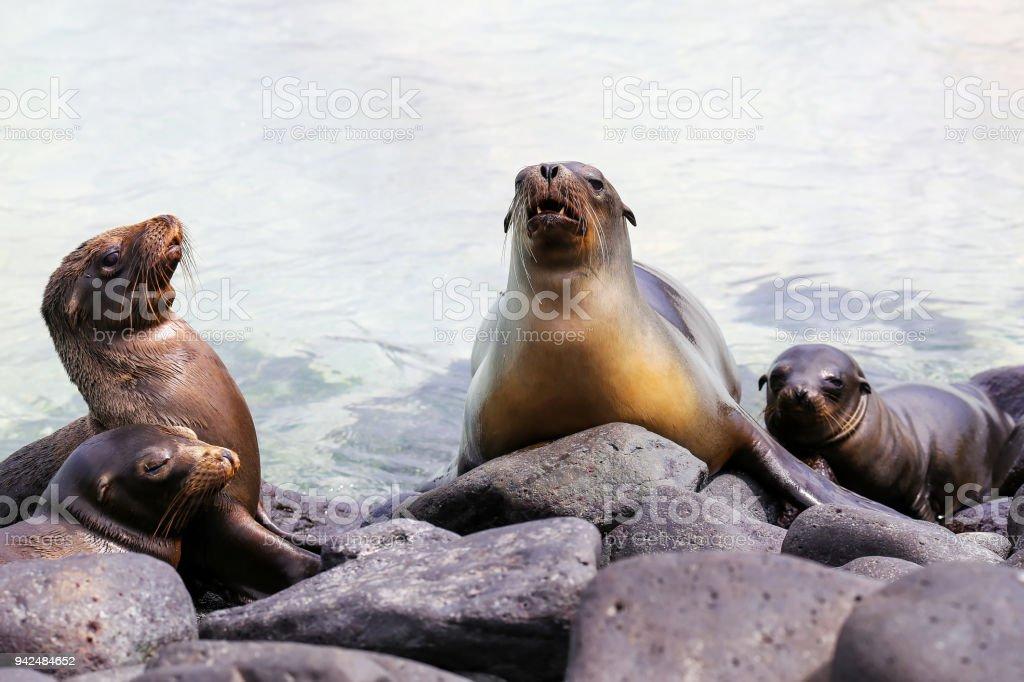 Galapagos sea lions lying on rocks on Espanola Island stock photo