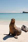 Two Galapagos sea lions on the sandy beach of Espanola Island, the Galapagos