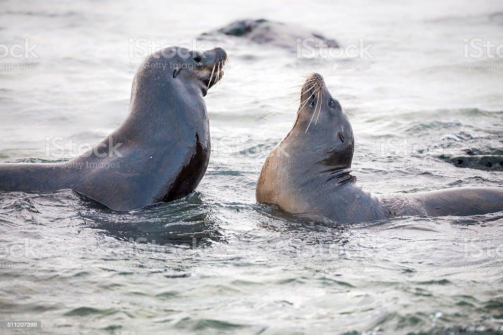 Galapagos Sea Lions Playing into Water, Galapagos Islands stock photo