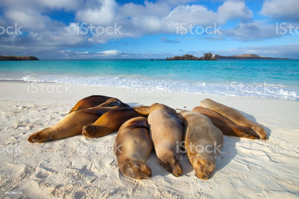 Galapagos Sea Lions Sun Themselves on Beach stock photo