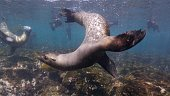 Fernandina Island, Galapagos Islands, Ecuador - May 11, 2018 : Underwater sea life at Galapagos (2018_0428_0520-05-11_114137.005)