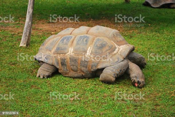 Galapagos tortoise eating picture id919107674?b=1&k=6&m=919107674&s=612x612&h=n07ulvqhepbsrztmihk amlae2a2w zmefc5xdzva38=