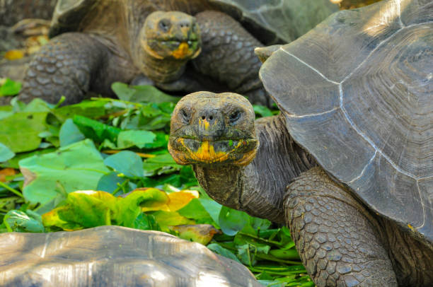 Galapagos tortoise in a nature reserve stock photo