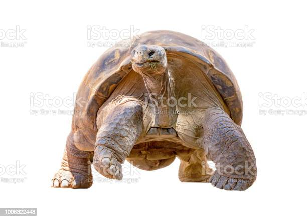 Galapagos tortoise isolated walking forward picture id1006322448?b=1&k=6&m=1006322448&s=612x612&h=s7dyizcmg05eqv0xobn52 obbpdcr8yakkym3uz3fee=