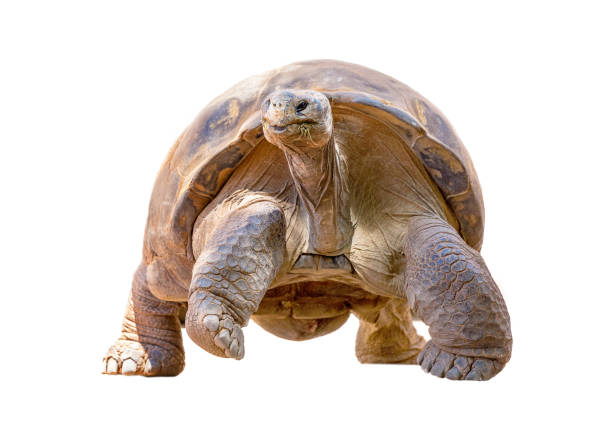 Galapagos Tortoise Isolated Walking Forward stock photo