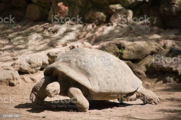 Galapagos tortoise picture id121297102?b=1&k=6&m=121297102&s=612x612&h=yyfrkzdx2pwgd8rfuiy7mirpfrq6y4i95n6leotz5k8=