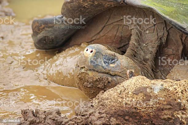 Galapagos tortoise picture id507868358?b=1&k=6&m=507868358&s=612x612&h=regfunzq5 u7rbhenf9otz6bdyrxrfjs6adq13otga8=