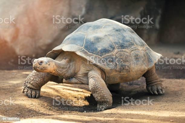 Galapagos tortoise picture id947885994?b=1&k=6&m=947885994&s=612x612&h=icstupefrlhhma1qdmbjt91mztgob1qbi8p4lw1spys=