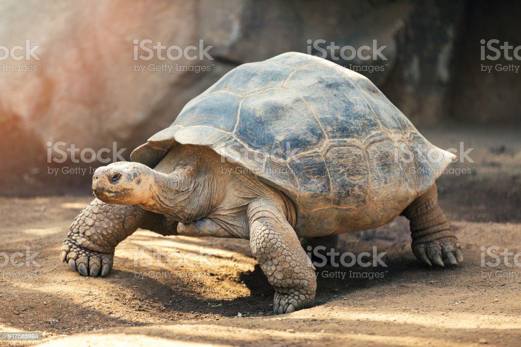 Galapagos tortoise stock photo