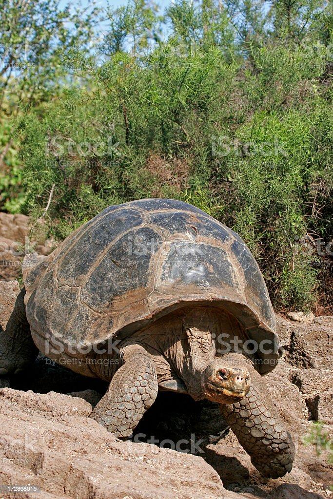Galapagos Tortoise Walking Slowly Over Large Rocks royalty-free stock photo
