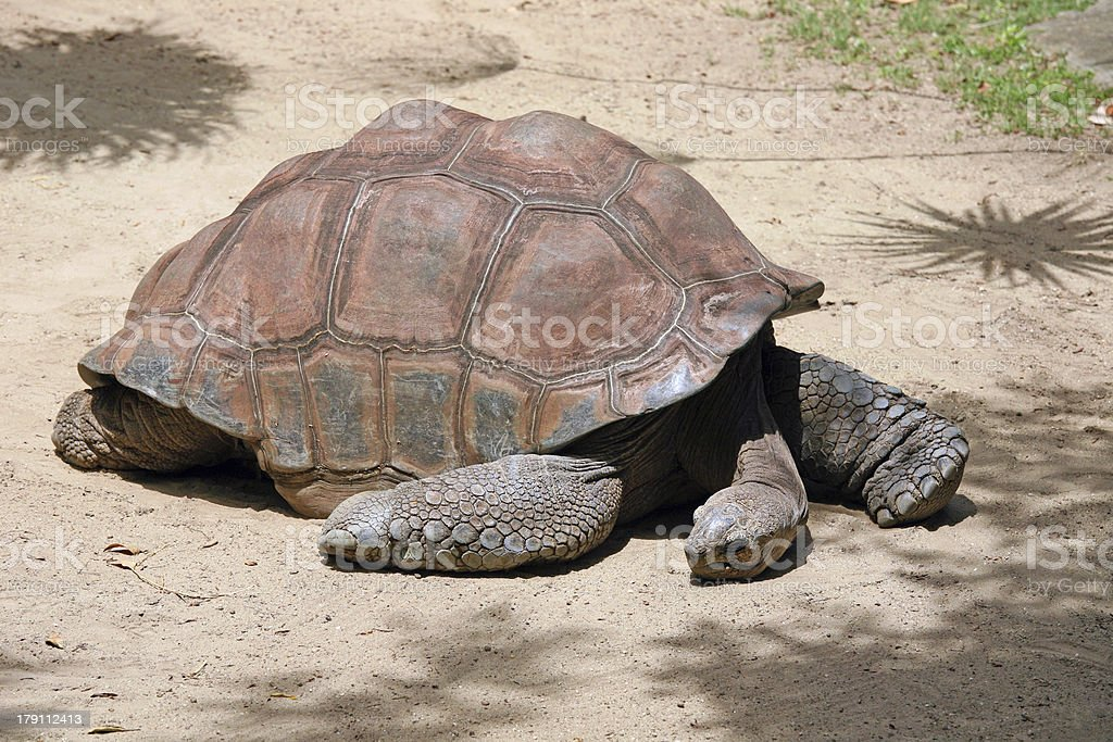 Galapagos Turtle royalty-free stock photo