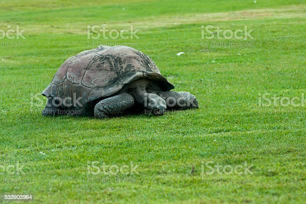 Galapagos turtle picture id533903964?b=1&k=6&m=533903964&s=612x612&h=eq509g9dgjxwcbw93mpekwnik7rnu52ujy2yiwpu6mc=