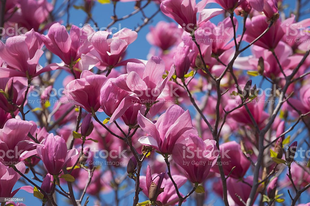 Galaxy Hybrid Magnolia Flowers Stock Photo More Pictures Of Flower