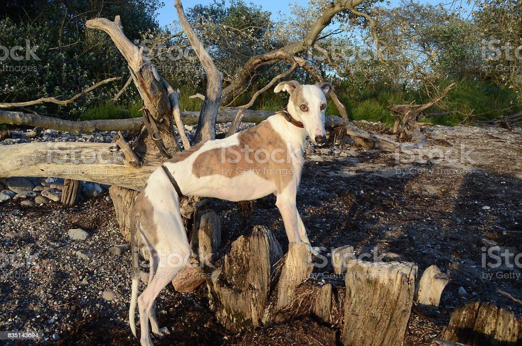 Galgo Dog stock photo