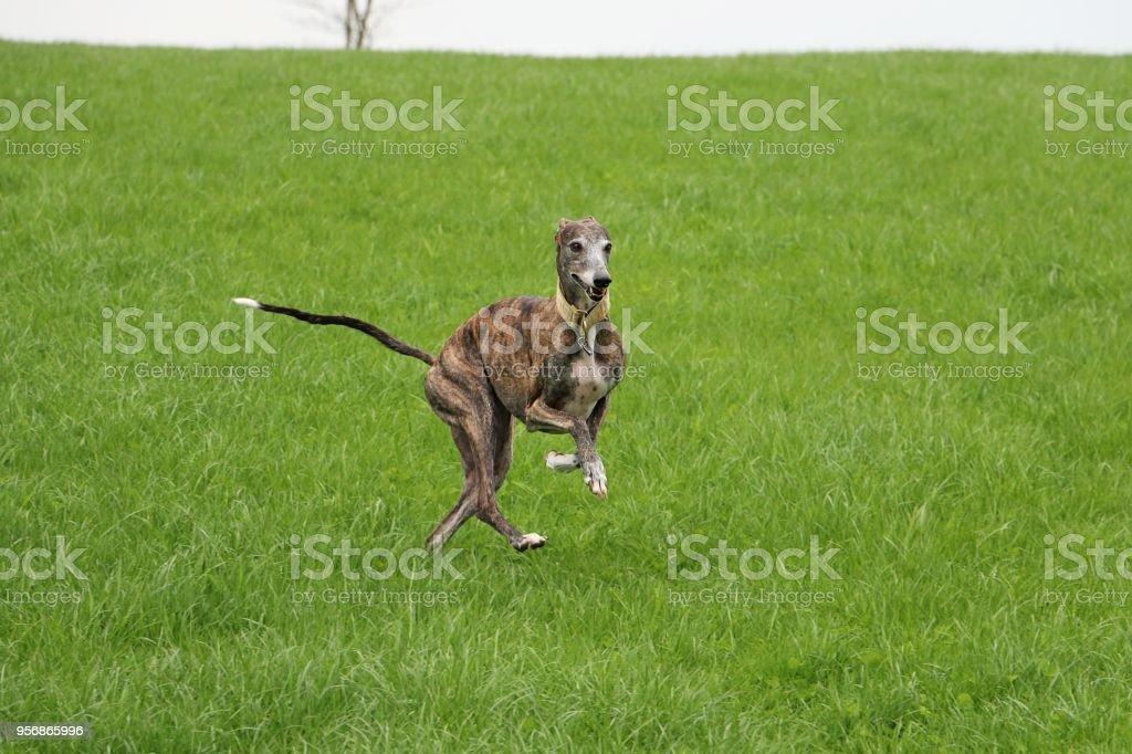 galgo is running in the garden stock photo