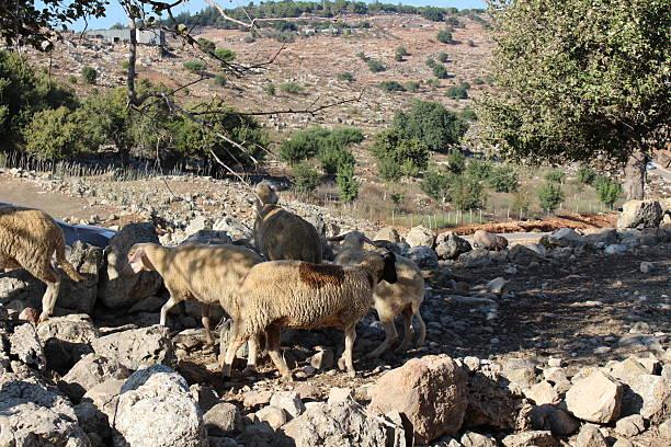 Galillee Awassi sheep between limestone rocks stock photo
