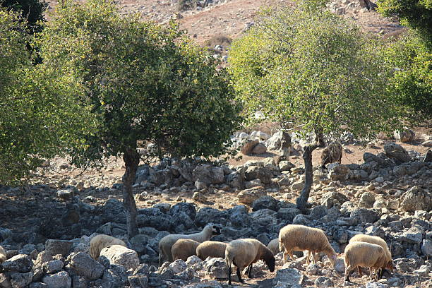 Galillee Awassi sheep between limestone rocks stock photo