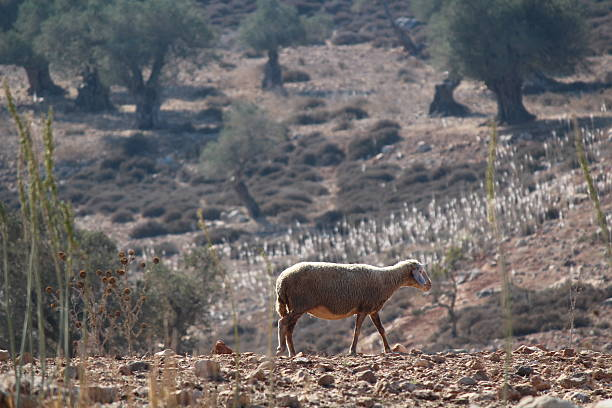 Galillee Awassi sheep olive trees and medicinal squill in bloom stock photo