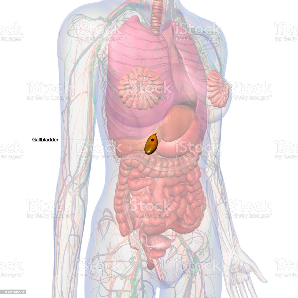 Gallbladder Labeled In Female Internal Anatomy Stock Photo More