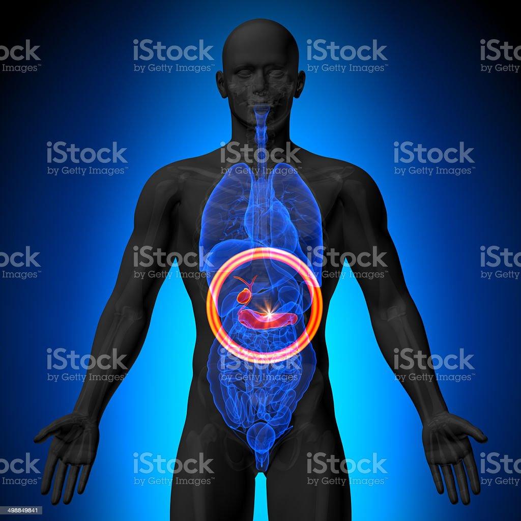 Fotografía de Vesícula Biliar Páncreas Hombre Anatomía De órganos ...