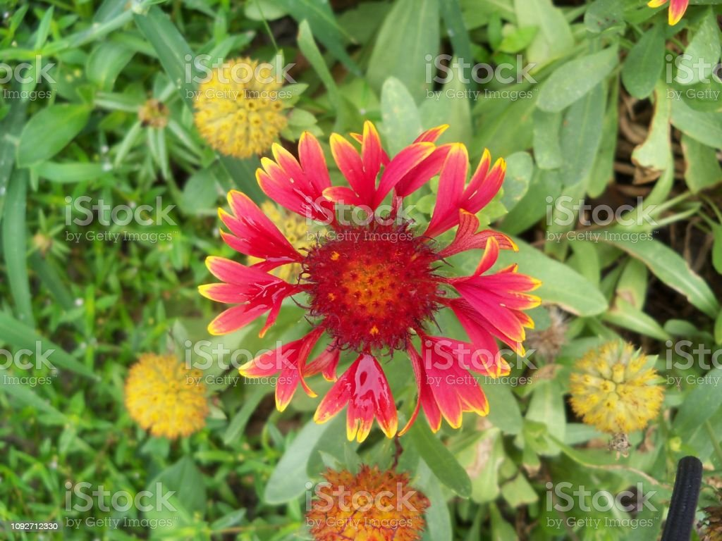 Galliardia flower stock photo