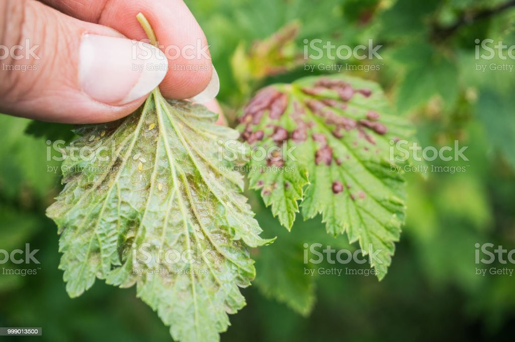 Gallic Aphids On Currant Leaves Pest Control Garden And Vegetable Garden Stock Photo Download Image Now Istock