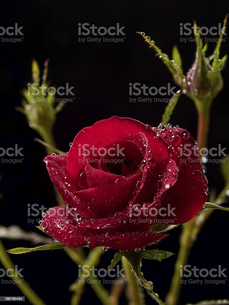 rosa gallica / rose royalty-free stock photo