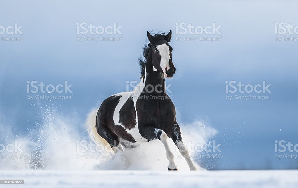 Galloping American Paint horse in snow stock photo