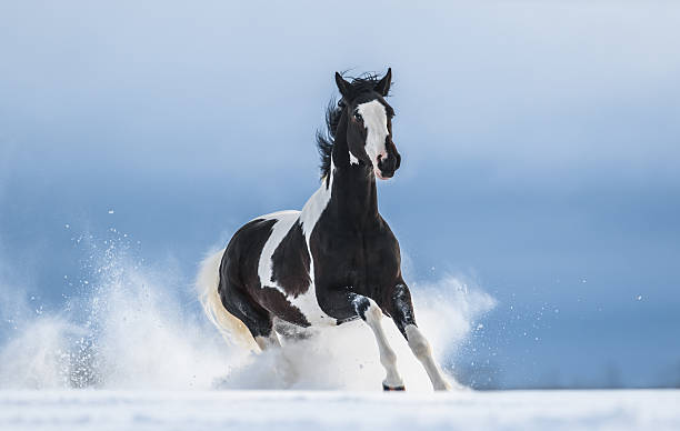 Galloping American Paint horse in snow American Paint horse running gallop across a winter snowy field paint horse stock pictures, royalty-free photos & images