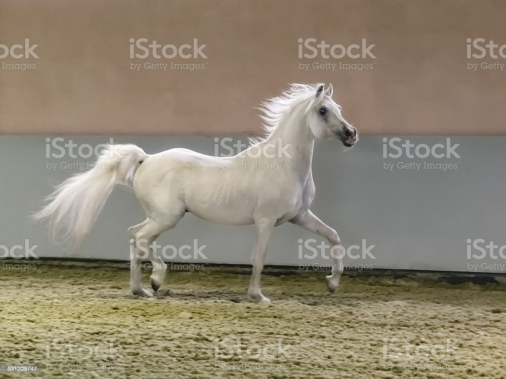 galloping arabian horse - stallion in shining light stock photo