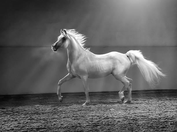 galloping arabian horse - stallion in shining light galloping arabian horse - stallion in shining light arabian horse stock pictures, royalty-free photos & images