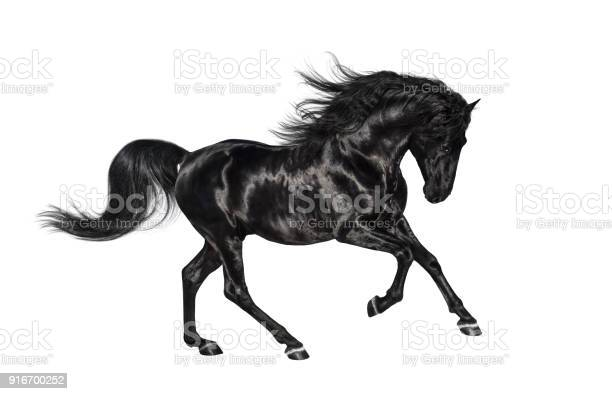 Galloping black andalusian stallion isolated on white background picture id916700252?b=1&k=6&m=916700252&s=612x612&h=vs8rs6  buk01wwnyqg 6pcvpj1ckgm f7ih4d03ld4=
