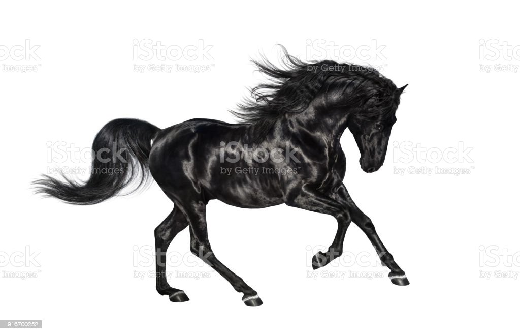 Galloping black Andalusian stallion isolated on white background. stock photo
